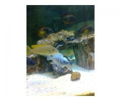 Afra Hara Reef (2 Erkek 5 Dişi)